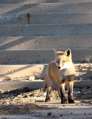 A fox stands on a staircase near the Terrazzo at the Air Force Academy May 30, 2011. Academy public health officials have asked residents on base to keep an eye out for foxes behaving erratically after two foxes in the Broadmoor area of Colorado Springs, Colo., tested positive for rabies in August 2013. (U.S. Air Force photo/Cadet 1st Class Kyle Palko)