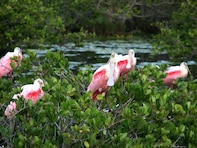Roseate Spoonbills and the endangered West Indian manatee are among the species that call the Merritt Island National Wildlife Refuge home. If approved to fly the restricted airspace over the refuge, unmanned aircraft systems may provide potential, unobtrusive opportunities for research, environmental and wildlife data collection.