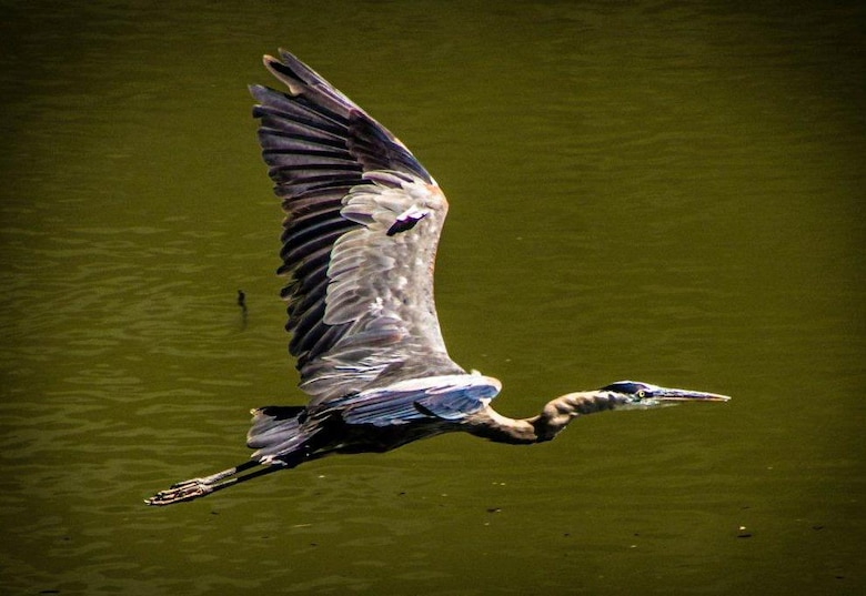 A great blue heron in flight at JT Myers Locks and Dam on the Ohio River.