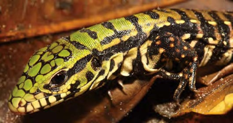 Tegu hatchlings have a green coloration on their head, which usually fades within a few months. On average, a mature female tegu will lay around 35 eggs a year. In Florida, tegus hatch in the early summer.