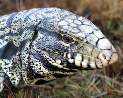 Tegus are most active during the daytime and eat fruits, vegetables, eggs, insects, cat or dog food, and small animals such as rodents or lizards, according to the FWC.
