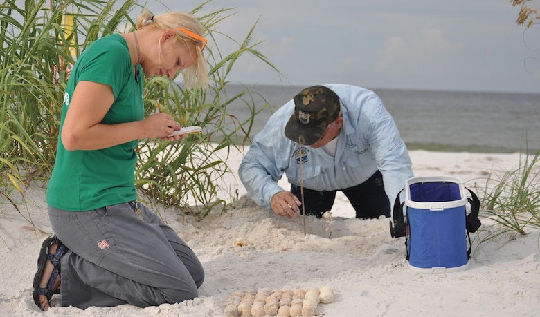 Shannon Secco counts the contents of a sea turtle nest while John Jennings excavates the rest of the nest Aug. 23, 2013 at Tyndall Air Force Base. Natural Resources specialists compile data for Florida's monitoring system on these nests including where the nests are located, what species of turtles laid the nest and how many successfully hatched out of the nest. This information helps to preserve and increase the sea turtle population. Secco is a  lead biological aide and Jennings is a wildlife technician with the 325th Civil Engineering Squadron Natural Resources department.