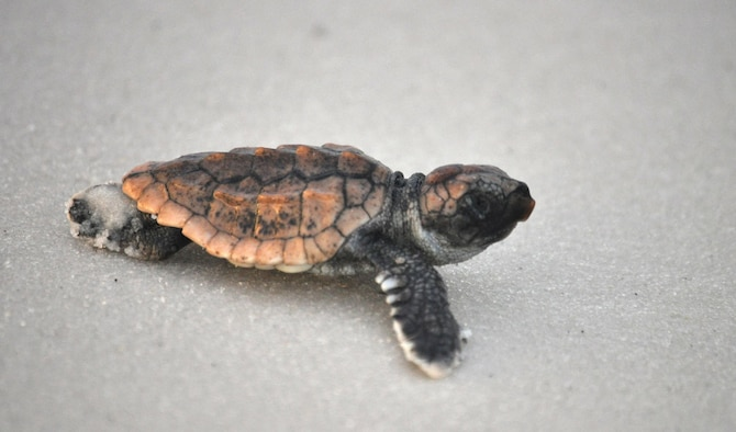 A newly-hatched loggerhead sea turtle crawls to the water after being released by 325th Civil Engineering Squadron Natural Resources surveyors Aug. 23, 2013 at Tyndall Air Force Base, Fla.. Natural Resources monitors and protects the sea turtles that come to Tyndall AFB's beaches to nest. They also compile data for Florida's monitoring system on these nests including: where the nests are located, what species of turtles laid the nest and how many successfully hatched out of the nest.