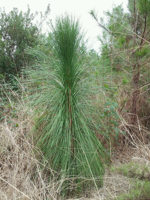 A long-leafed pine planted at Joint Base Charleston. (Courtesy photo)