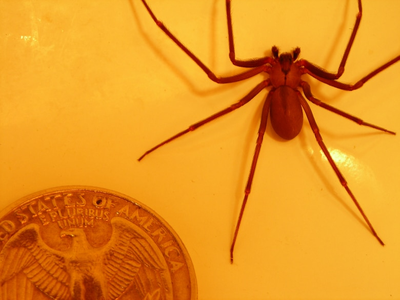 "The brown recluse or ""violin spider"" can be identified by its sandy brown color, uniformly colored legs and the upside-down violin-shaped marking on the cephalothorax, or front section of its body."