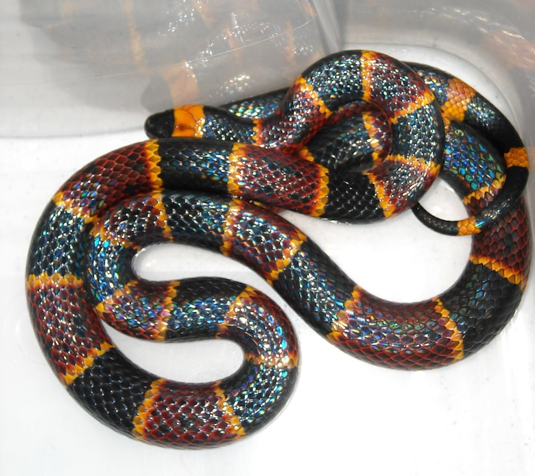 Is it poisonous? Think about the warning colors most commonly seen on safety vests to help identify the poisonous eastern coral snake, which has a black snout, and a repeating pattern where red touches yellow.