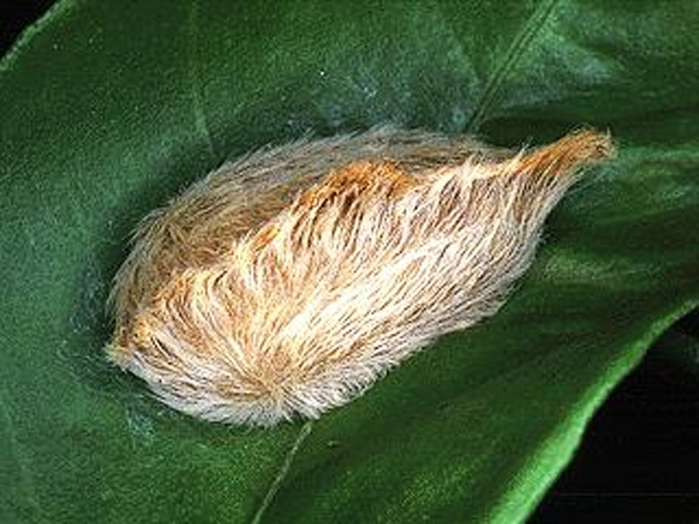 Believe it or not, this puss caterpillar larvae can leave a burning blistered trail on the skin.