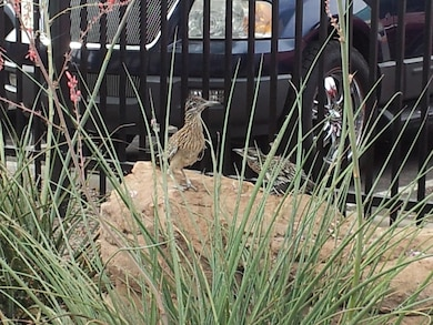 "ALBUQUERQUE, N.M., -- 2013 Photo Drive submission. Photo by Dale Cottrell, June 24, 2013. ""Mama roadrunner with fledgling at the district office."""