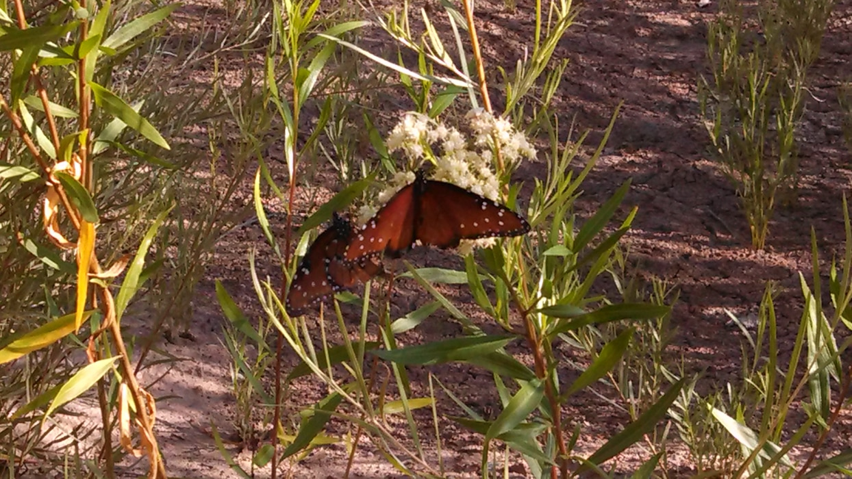 """Butterfly at the Middle Rio Grande Restoration Project."" Photo by Ondrea Hummel, Sept. 5, 2013."