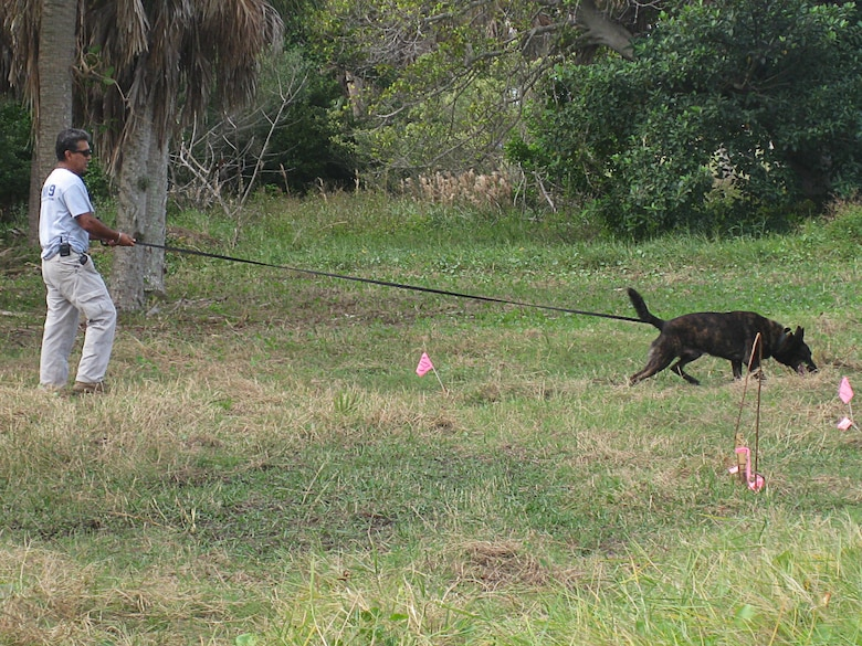 AMK9 dog handler Stevie Valencia waits for Rex, a three-year-old Dutch Shepherd, to pick up the scent of a buried training target on the Mullet Key Formerly Used Defense Site at Fort DeSoto Park near St. Petersburg, Fla.