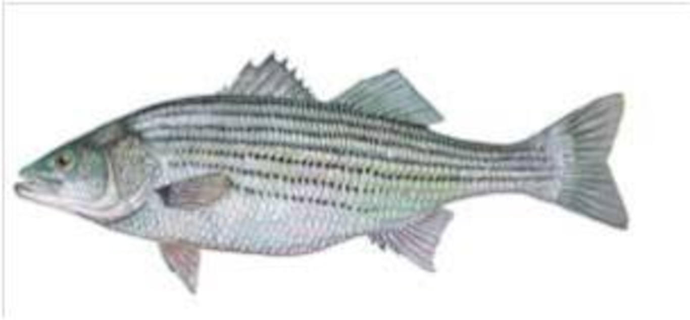 Hundreds of striped bass are among the 750,000 fish that pass through the St. Stephen powerhouse's fish lift every year.