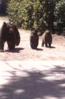 """Bear family out for a stroll at Trinidad Lake"" Photo by Rowena Sanchez, June 2013."