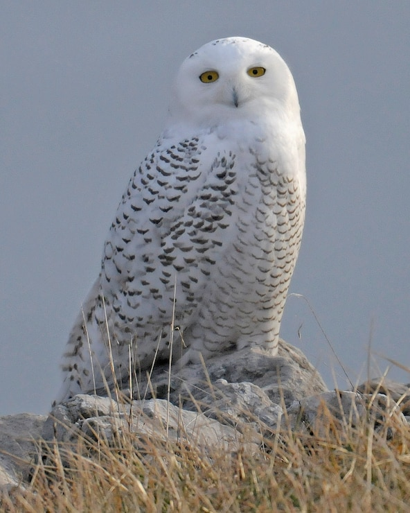 A snowy owl is visiting Long Branch Lake.  It has been seen around the Long Branch Dam.