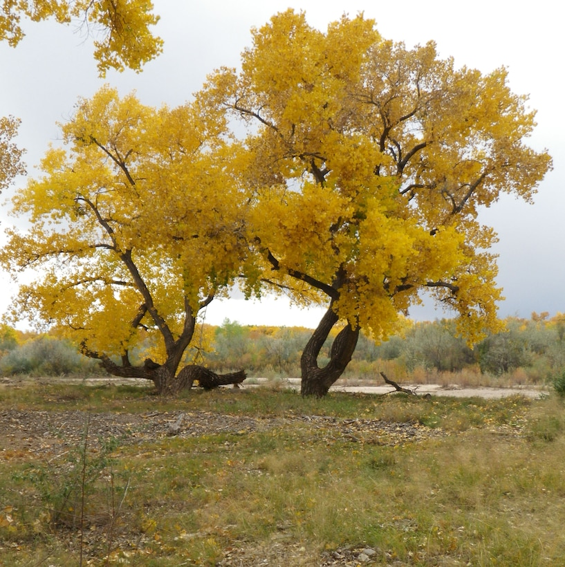 "SANDIA PUEBLO, N.M., -- 2013 Photo Drive submission. Photo by Michael Porter, Oct. 30, 2013. ""Cottonwoods with fall foliage"""