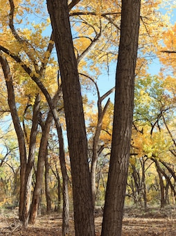 """Cottonwoods with fall foliage at the Rio Grande Nature Center"" Photo by Michael Porter, Oct. 26, 2013."