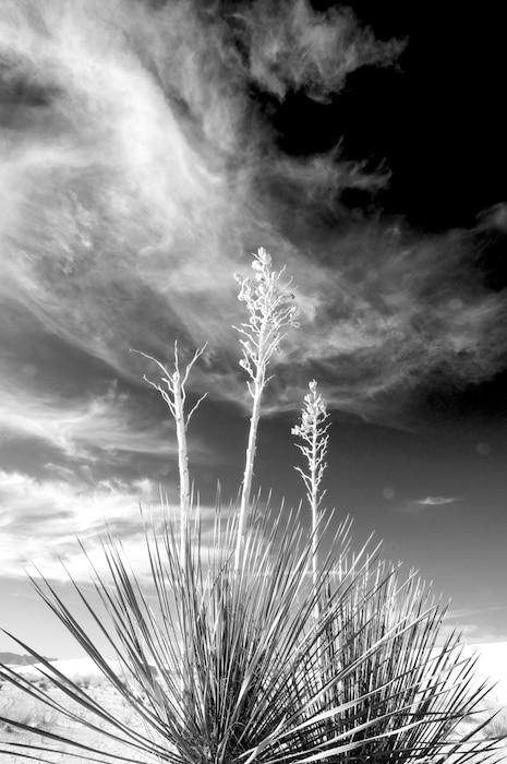 """Yucca at White Sands National Monument""  Photo by David Abbott, Oct. 14, 2013."