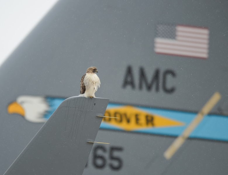 A red-tailed hawk sits on the winglet of a C-17 Globemaster III Dec. 17, 2013, at Dover Air Force Base, Del. The bird of prey is a frequent visitor at Dover AFB and helps control small pests such as field mice and rabbits. The C-17 is assigned to the 436th Airlift Wing. (U.S. Air Force photo/Greg L. Davis)