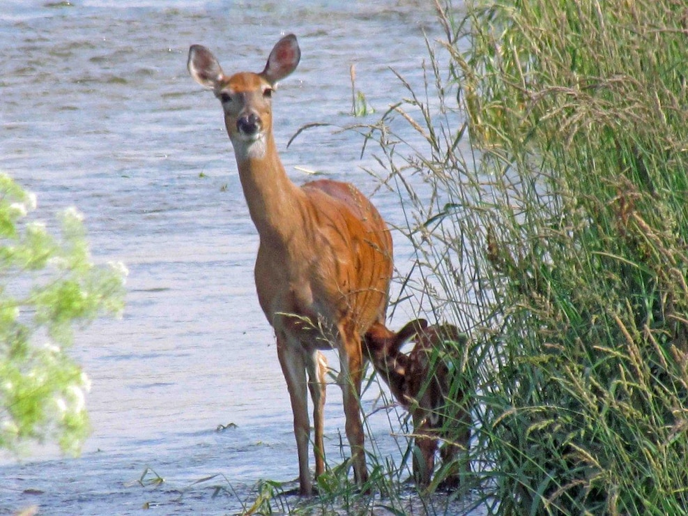 Deer with fawn at CJ Brown