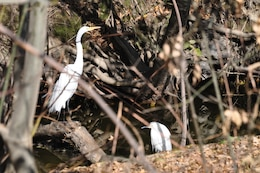 The group taking a nature walk in Sepulveda Basin Feb. 12 was pleased to observe two snowy egrets along Haskell Creek at the time of their visit.  (USACE photo by Jay Field)