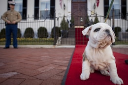 Chesty, future Marine Corps mascot, sits on the red carpet in front of the Home of the Commandants waiting to meet Bonnie Amos,  wife of Gen. James F. Amos, commandant os the Marine Corps during a visit to Marine Barracks Washington, D.C., Feb. 14. Chesty, a 9-week-old pedigree English bulldog is soon to become the future Marine Corps mascot after the completion of obedience and recruit training with a ceremony scheduled for March 29. After completing training, the young puppy will earn the title Marine joining the ranks of his well-known predecessors.