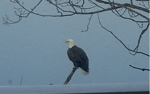 Bald Eagle at Blue Marsh Lake