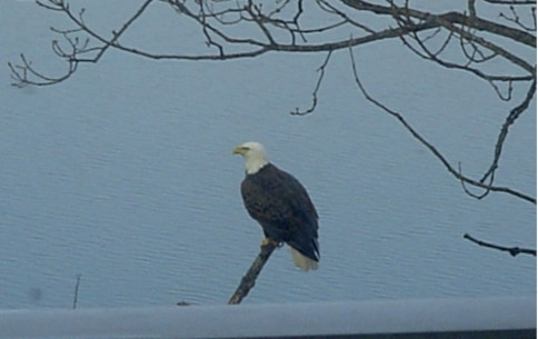 Bald Eagle at Blue Marsh Lake