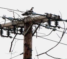 Osprey nest on power poles in and around Shenango River Lake. Managers are working with other agencies and the power company to resolve the issue.