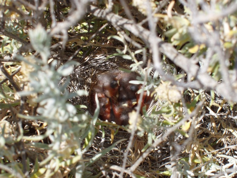 Baby Sage Sparrows in a nest amongst some brush.  (Courtesy photo)
