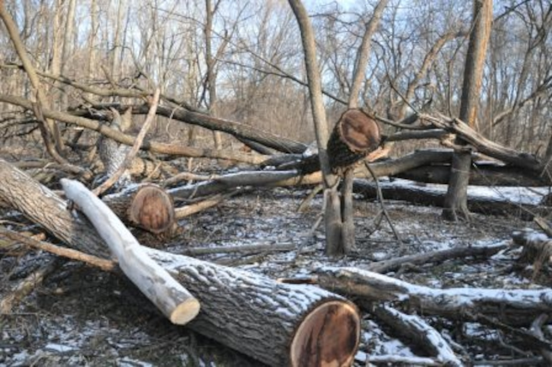 The remnants of black walnut trees and other species litter the forest floor following the theft of the walnut sawlogs (a log of suitable size for sawing into lumber).