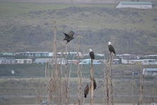 Westrick Park at The Dalles Dam has become a prime roosting habitat for bald eagles in recent years.