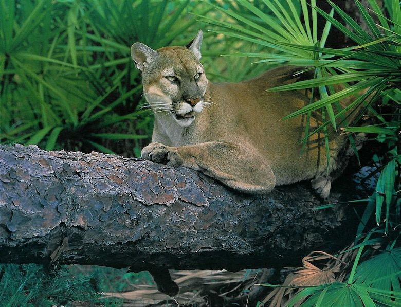 A unique collaboration between federal, state and private organizations preserved the single most important area in Florida for ensuring the natural recovery of Florida panthers. USACE file photo.