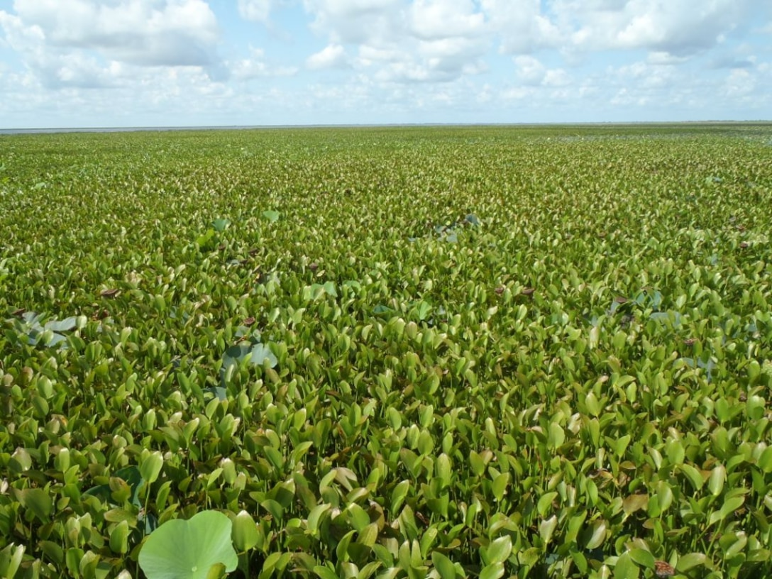 A warmer than normal winter and heavy early season rains contributed to the highest levels of water hyacinth on the St. Johns River and Lake Okeechobee since 1986.