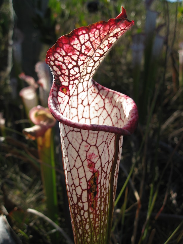 """Six species of pitcher plants (Sarracenia) are found in Florida's wetlands, with the greatest concentration found from Franklin County to Escambia County. The unique plant is carnivorous, attracting and trapping insects that decompose in the plant's liquid, creating a nitrogen-rich """"fertilizer."""" England and Japan both have gardens that feature North American pitcher plants, and they are a major attraction. According to the Florida Department of Environmental Protection, pitcher plant habitat in Florida is """"at risk, primarily from lack of fire management and from drainage by ditching."""" All wild pitcher plants are protected by state and federal laws."""