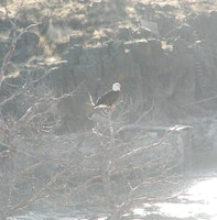 Eagles winter at The Dalles Dam between November and March.  Visitors can see them from the The Dalles Dam Visitor Center parking lot.