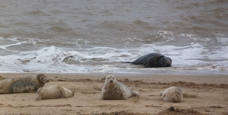 Adult seals bask along the Norfolk coastline Jan. 4, 2013, in Horsey Gap, Norfolk, where hundreds of seal pups have recently been born. The Horsey seal population has risen from 10 in 2003 to around 1,500 in 2013. There is a viewing area running alongside the beach on the sand dunes, and dogs must be kept on a lead at all times. (Courtesy photo by Karen Abeyasekere)