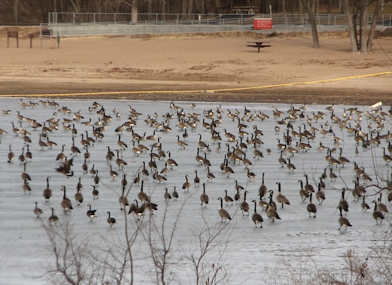 The movement of water from flocks of waterfowl can prevent ice from freezing completely.