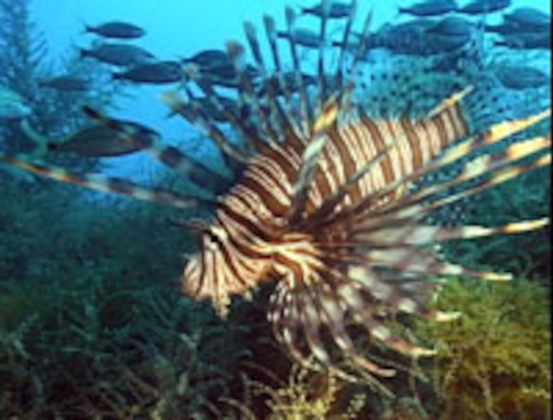 A red lionfish swims in the Atlantic Ocean. The aquarium trade is the most likely explanation for the invasion of the lionfish in the Atlantic Ocean.
