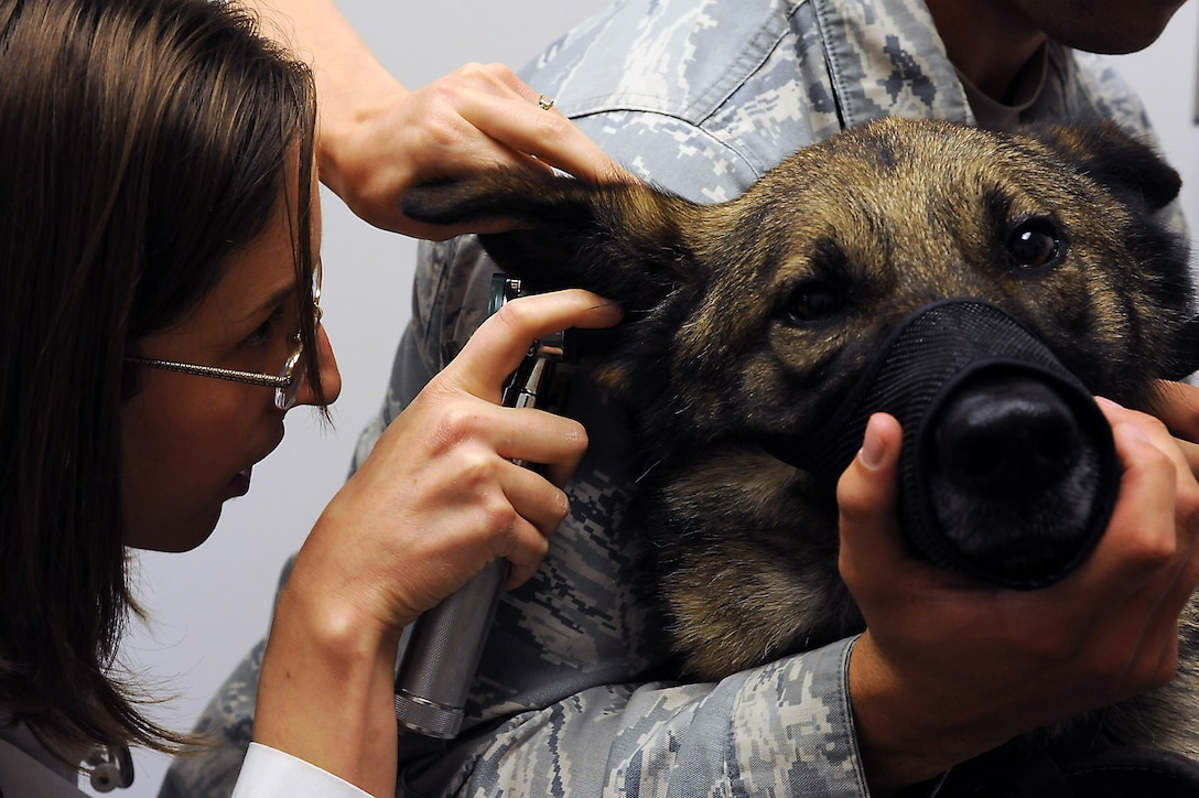 Joanna Kuecker, Army Public Health Command District-Carson veterinarian, examines the ear of Norbo, a 509th Security Forces Squadron military working dog, at Whiteman Air Force Base, Mo., July 3, 2013. Norbo is a narcotics and patrol dog who suffers from allergies. (U.S. Air Force photo by Airman 1st Class Shelby R. Orozco/Released)