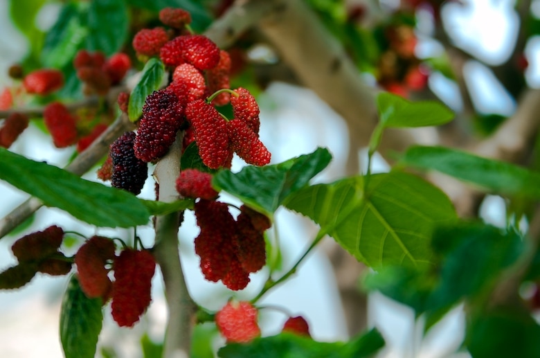 White, green, red or pale yellow when immature, mulberries look like they're made of lots of little beads clustered together and turns purple or black when ready to eat. If fruits are up high, ask for help from an adult. (U.S. Air Force photo/Senior Airman Daniel Phelps/Released)