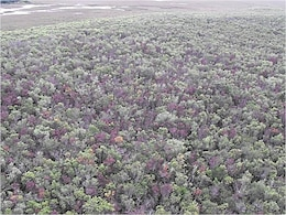 A survey of laurel wilt damage to swampbays in an Everglades tree island.
