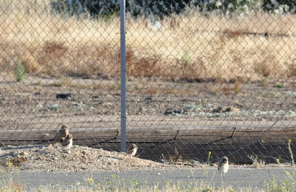 A family of burrowing owls has made a home in the midst of a bustling environmental cleanup project at the former McClellan Air Force Base in Sacramento, Calif. (U.S. Air Force photo).