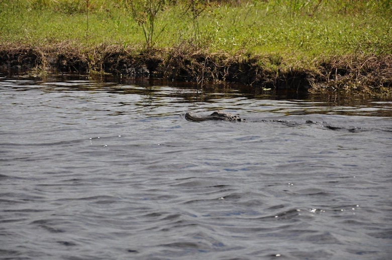 An alligator makes his way down Fisheating Creek to Cowbone Marsh, home to a variety of species.
