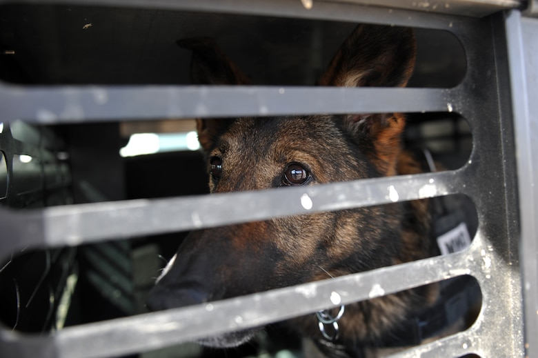Nina, 460th Security Forces Squadron military working dog, looks through her cage before a training exercise March 20, 2013, at a training facility on Buckley Air Force Base, Colo. The 460th SFS hosted a K-9 training exercise that included participation from the 460th SFS, Jefferson County Sheriff's Office, Denver Sheriff Department and Transportation Security Administration. (U.S. Air Force photo by Airman 1st Class Riley Johnson/Released)