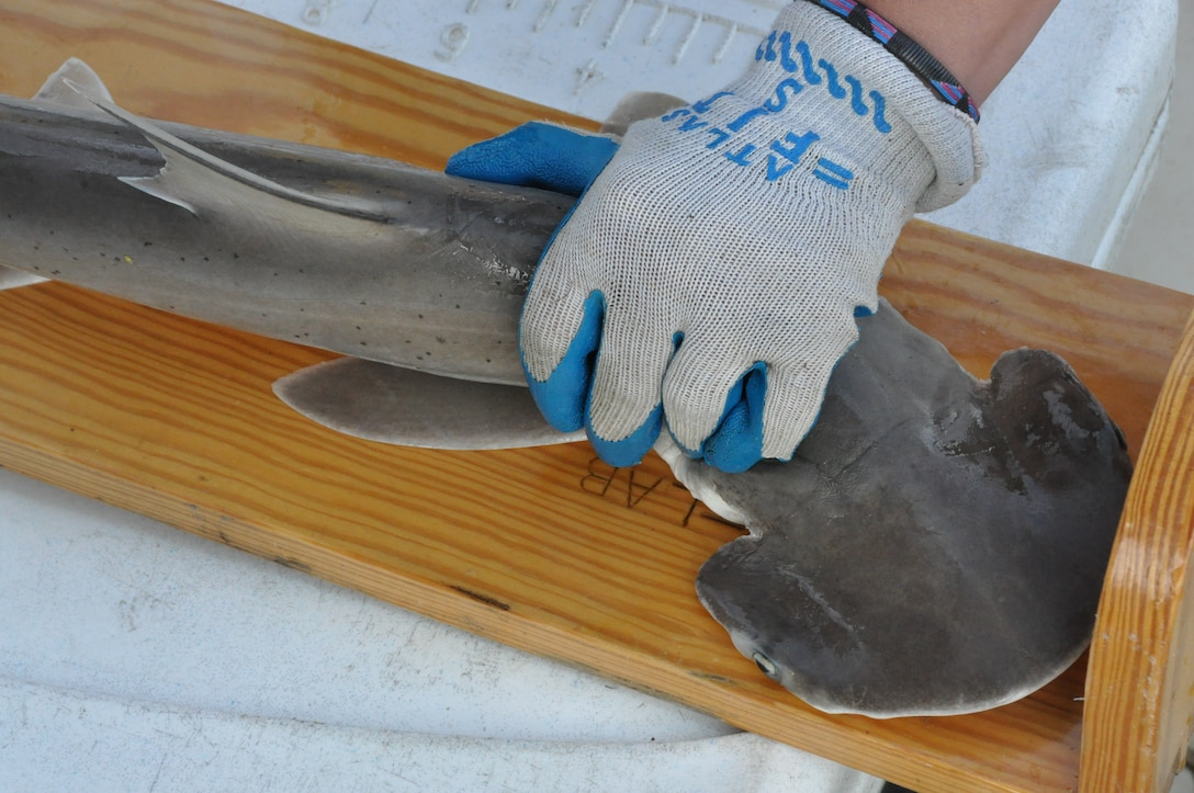 A  juvenile bonnethead gets measured after it was caught in the gillnet during the National Oceanic and Atmospheric Agency, Southeast Fisheries Science Center, Panama City Laboratory's Gulf of Mexico Shark Pupping and Nursery Survey off the shores of Tyndall Air Force Base, Fla. April 25, 2013. (U.S. Air Force photo by Senior Airman Christopher Reel)