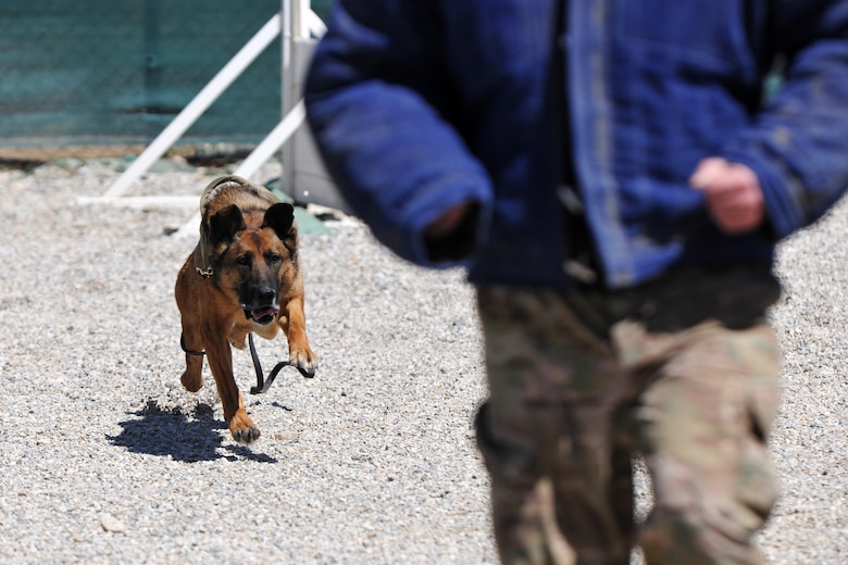 Senior Master Sgt. Edward Keenan, 455th Expeditionary Security Forces Group operations superintendent, and Military Working Dog Ruth perform controlled aggression training at Bagram Airfield, Afghanistan, April 28, 2013. Controlled aggression training creates scenarios in which the MWD team responds to a suspect or unidentified individual.  (U.S. Air Force photo/Senior Airman Chris Willis)