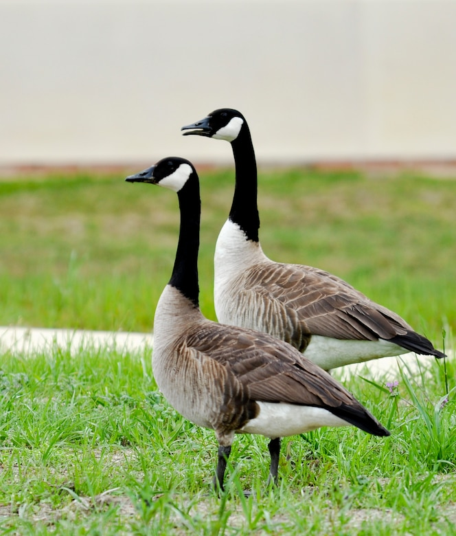 Two Canada Geese walk by the old youth center during the Annual Spring Bird Count, May 4, 2013, at Langley Air Force Base, Va. The pair were the only two seen that day. (U.S. Air Force photo by Tech. Sgt. April Wickes/Released)