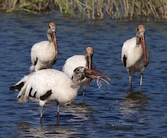 The Alligator Creek Habitat Restoration Project and the Coral Creek Ecosystem Restoration Project are currently under way. Among their many anticipated benefits are improving water quality and enhancing shallow water habitat for the endangered Wood Stork.