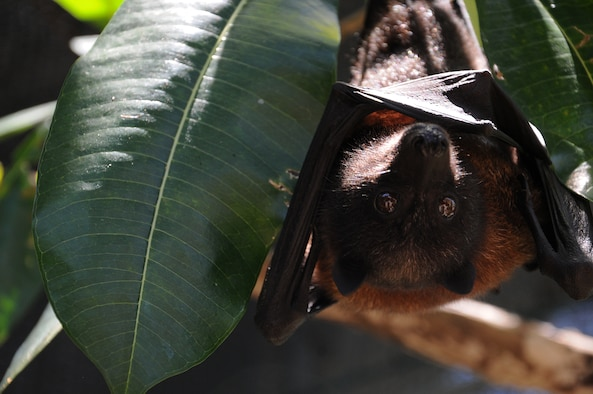 A Mariana fruit bat named Babydoll hangs from a tree at the Guam National Wildlife Refuge on Ritidian Point, Guam, May 20, 2013. The Mariana fruit bat, which dwells on Guam and the Commonwealth of the Northern Mariana Islands, is currently listed as a threatened species, though it has fluctuated between endangered and threatened in the past. (U.S. Air Force photo by Staff Sgt. Melissa B. White/Released)