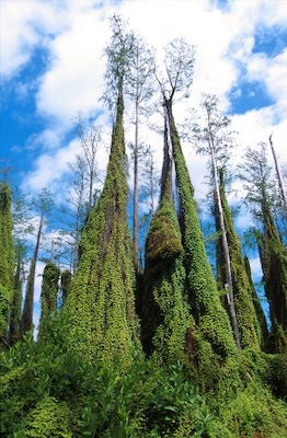Lygodium microphyllum, or Old world climbing fern, pictured here in Loxahatchee, Fla.  Native to Africa, Asia, Australia and the Pacific Islands, the plant invades open forest and wetland areas in Florida and Alabama.