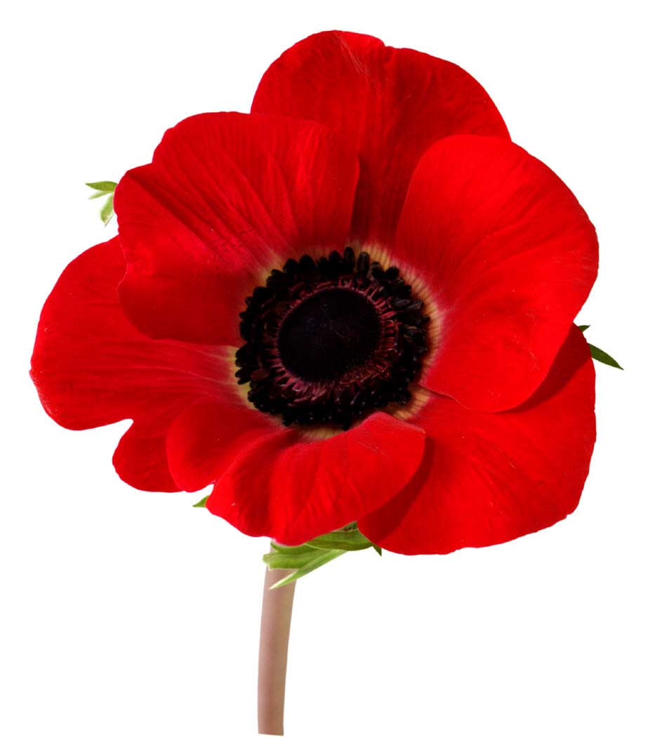 The remembrance poppy makes its annual appearance us air of 1 buycottarizona Images